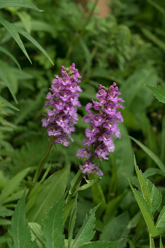 Small Purple Fringed orchids