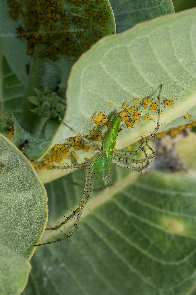 Green Lynx Spider and a bunch of aphids on the leaves of Broadleaf Milkweed