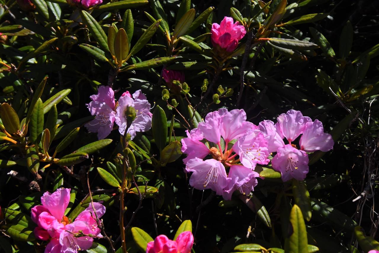 屏風岳稜線に咲くシャクナゲ