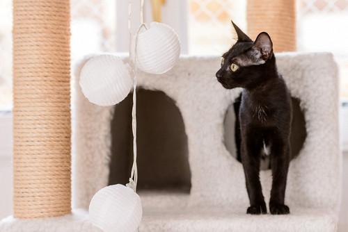Bombón, gatita negra monísima y dulce esterilizada, nacida en Marzo´18 en adopción. Valencia. RESERVADA. 43395361062_0e672ecc89