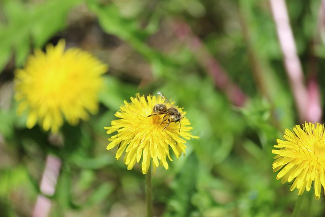 Want to Help Bees? Take a Break from Lawn Mowing | USDA