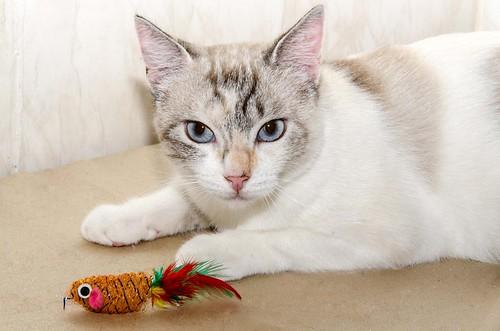 Aruba, gata cruce siamesa dulzona y muy guapa esterilizada, nacida en Agosto´17, en adopción. Valencia.  29177460547_2f964842fa