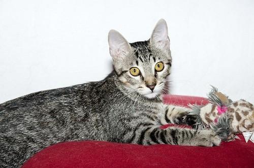 Bonnie, gatita parda monísima y muy lista esterilizada, nacida en Marzo´18, en adopción. Valencia. 44115412291_f797f126fb