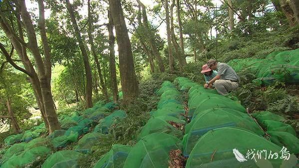 968-1-36s避開環境敏感區位,生產性的人工林,林試所提出山胡椒、養蜂、段木香菇與金線蓮四個項目,提交林務局與農委會。(圖為金線蓮作物)