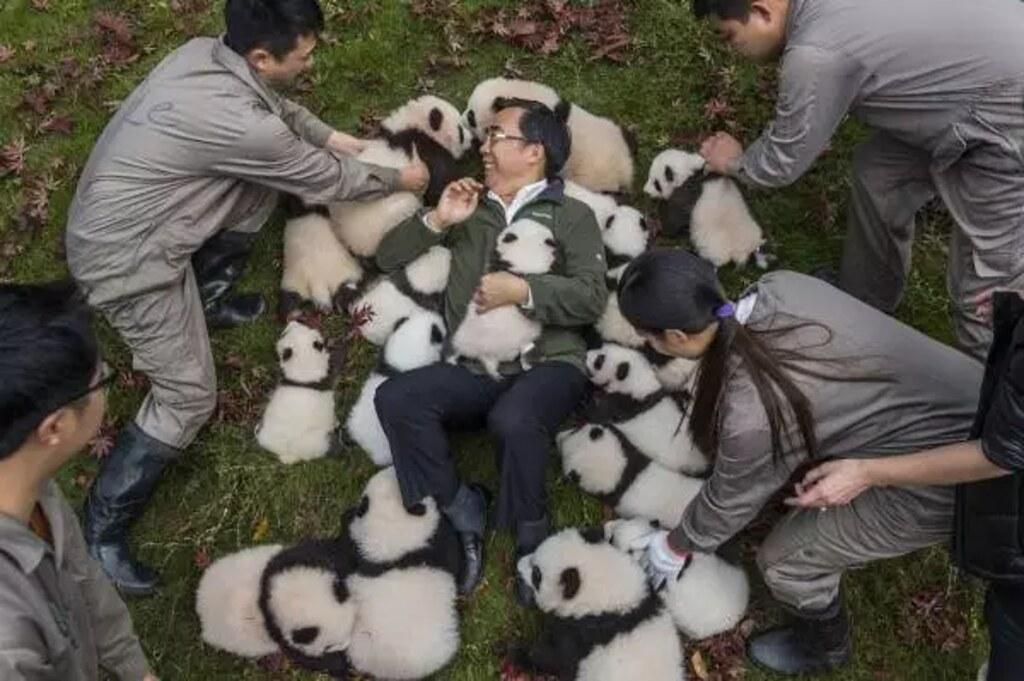 從迷路小黑熊,談中國保育大貓熊所帶來的警示。作者:龍緣之(北京清華大學科技哲學博士)