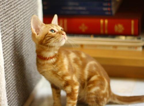Rowen, gato rojo dibujo tabby activo y guapo esterilizado nacido en Abril´18, en adopción. Valencia. ADOPTADO. 28970412297_891378e1fb