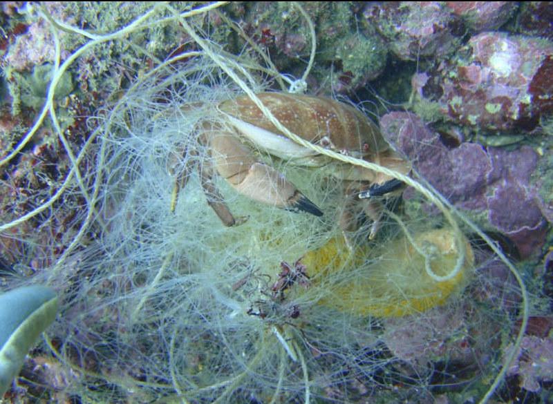 被漁網纏住的螃蟹