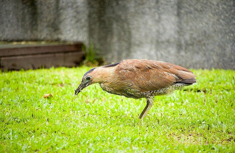 【自然谷之星】黑冠麻鷺