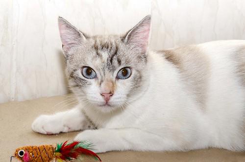 Aruba, gata cruce siamesa dulzona y muy guapa esterilizada, nacida en Agosto´17, en adopción. Valencia.  42306115060_3f863e8735