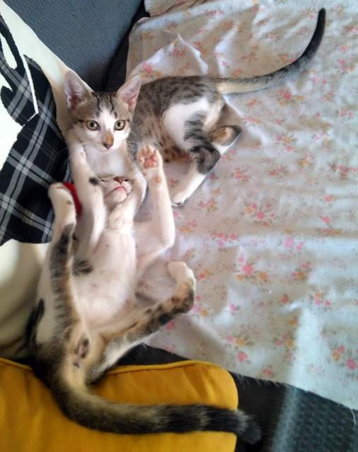 Sento, gatito blanquipardo dulcísimo y guapo nacido en Abril´18, en adopción. Valencia. ADOPTADO. 43087743265_ee87a0fb7e_z