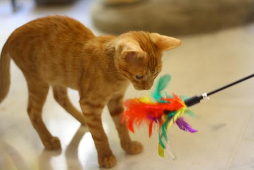 Rohit, gatito naranja cojito súper dulce y bueno, nacido en Abril´18, en adopción. Valencia. RESERVADO. 28970342637_2dcc90ec89