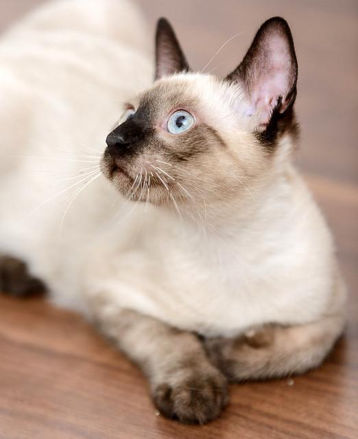 Boston, gatito Siamés Tabby reguapo y juguetón esterilizado, nacido en Marzo´18, en adopción. Valencia. ADOPTADO. 29562377668_994c76ecf6_z