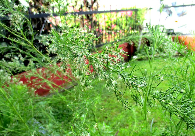 Dill flowers, close up 1