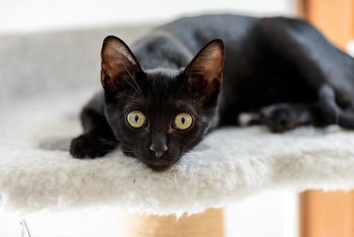 Bombón, gatita negra monísima y dulce esterilizada, nacida en Marzo´18 en adopción. Valencia. RESERVADA. 42538884715_e565303384
