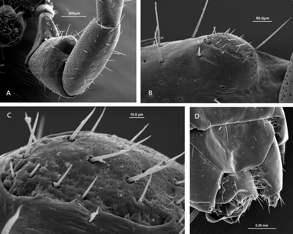 梅峰石蜈蚣的雄性第二性徵位於第15對步肢的腿節腹側的巨大隆起,隆起的頂部表面密布微小的腺孔(直徑0.8-1.0 μm)。圖片來源:趙瑞隆
