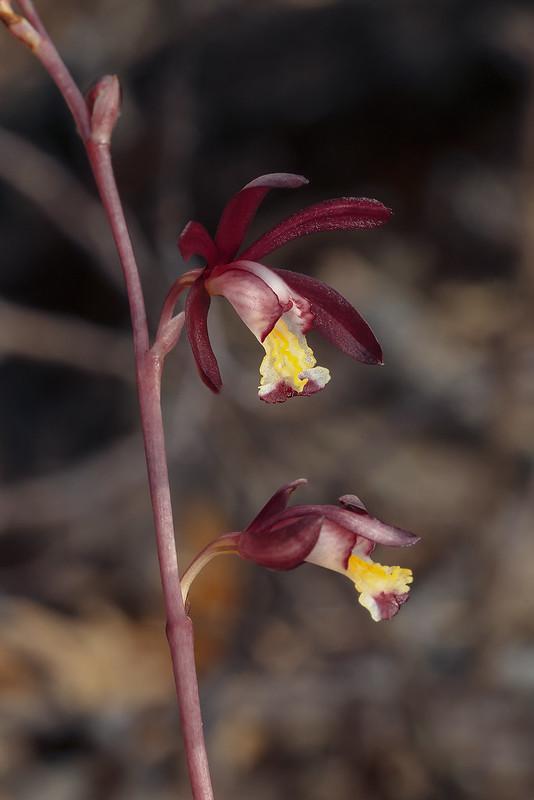 Texas Purple Spike orchid