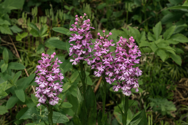 Group of Small Purple Fringed orchids