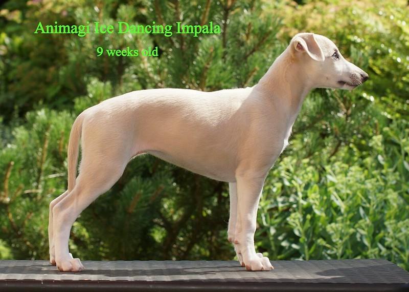 Impala = Kiki Sän