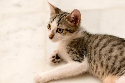 Sento, gatito blanquipardo dulcísimo y guapo nacido en Abril´18, en adopción. Valencia. ADOPTADO. 29554350778_5a6bec5ca3