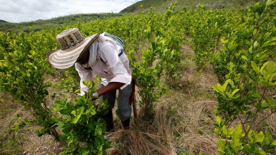 哥伦比亚农民清除古柯作物。(图片来源:Jaime Saldarriaga/Reuters)