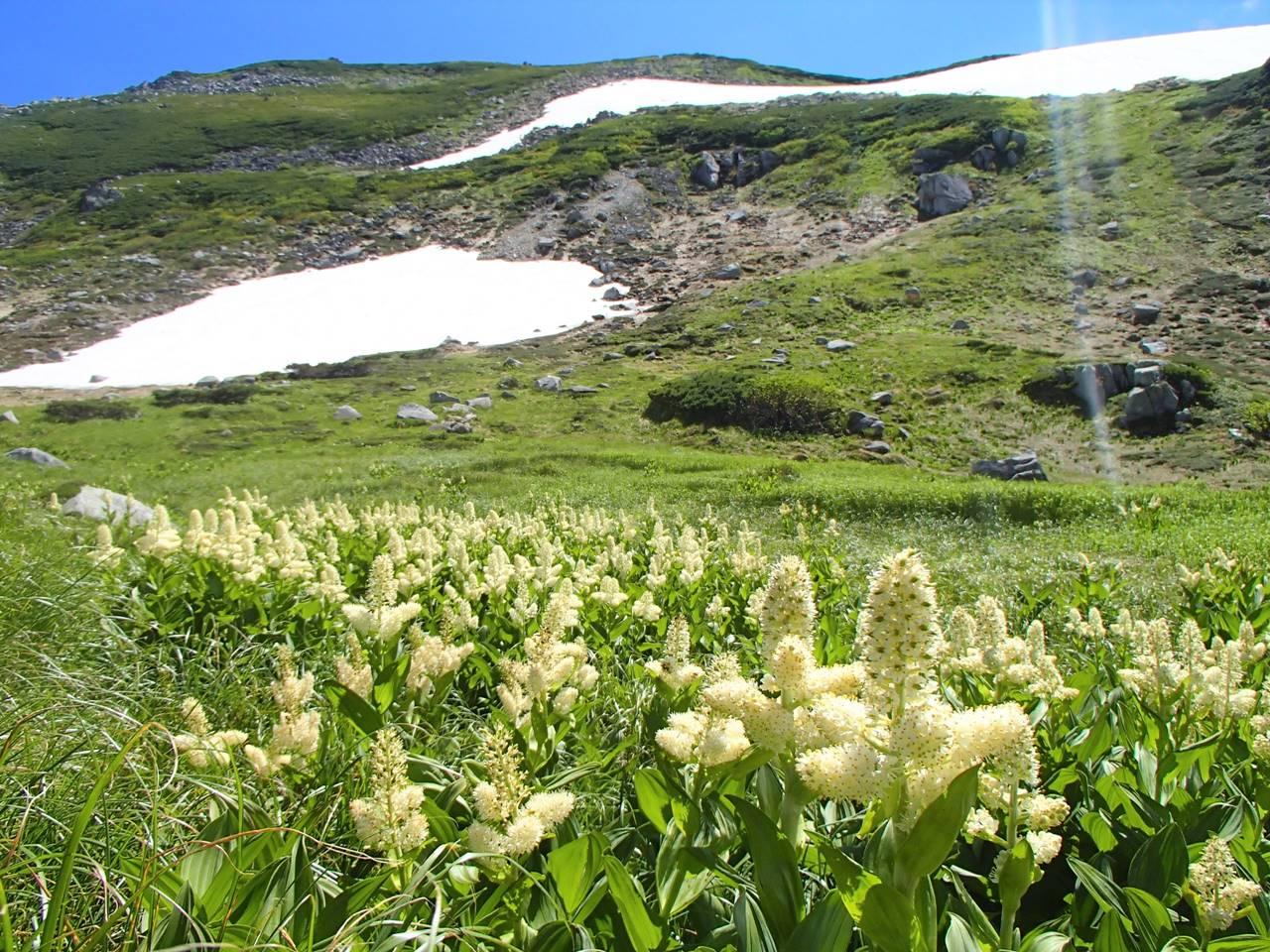 北アルプス・双六岳 コバイケイソウのお花畑
