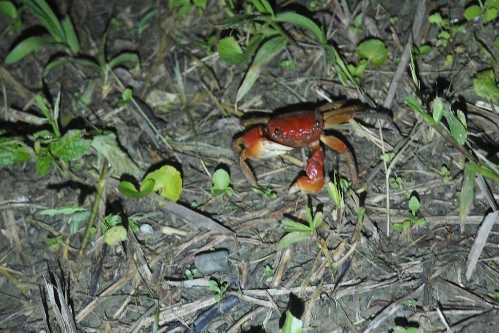 古清芳說,港口社區以前可見上萬隻中型仿相手蟹,現在居民已經知道護蟹比抓蟹來吃好。攝影:李育琴