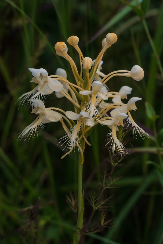 Luer's hybrid Fringed orchid