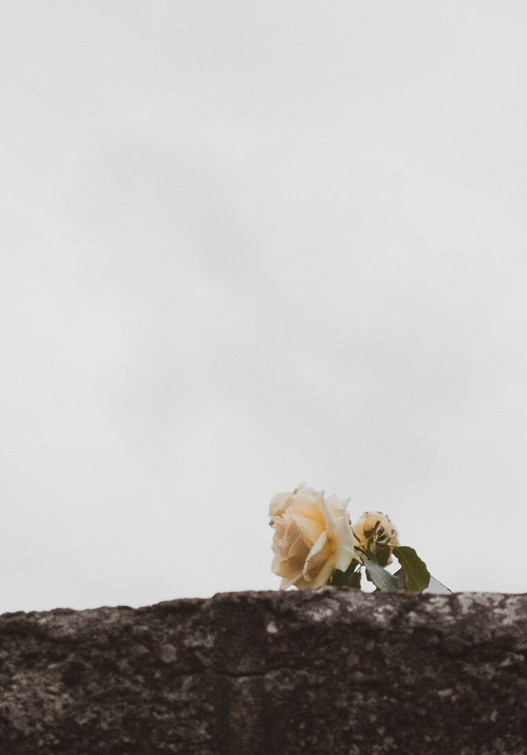 yellow rose peeking over wall