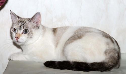 Aruba, gata cruce siamesa dulzona y muy guapa esterilizada, nacida en Agosto´17, en adopción. Valencia.  42306116220_11696c6e34