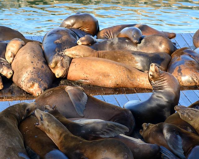 Leones marinos de San Francisco