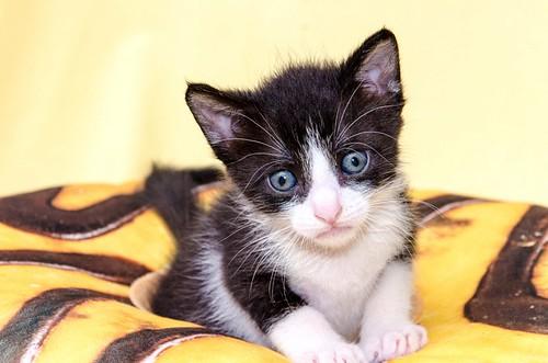 Martín, gatito blanquinegro guapísimo y súper listo nacido en Julio´18, en adopción. Valencia. ADOPTADO. 43502033944_a1e54559cf
