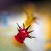 Cecropia Caterpillar tubercle (Hyalophora cecropia)