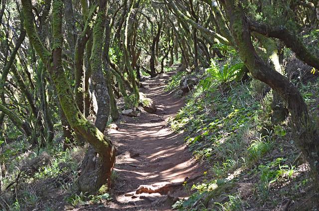 Laurisilva forest, Teno, Tenerife