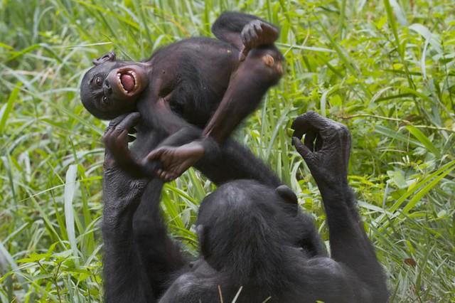 Секс у обезьян бонобо онлайн видео