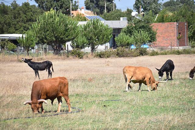 Longhorns and mules, Palmela, Portugal