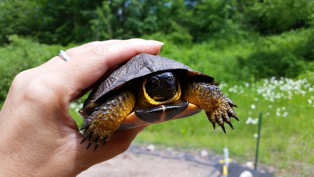 A female wood turtle