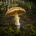 Mushroom in the forest (Nelson Lakes National Park) NZ