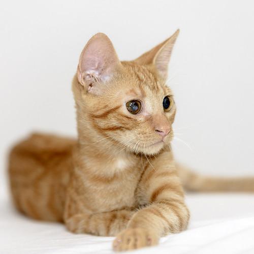 Rohit, gatito naranja cojito súper dulce y bueno, nacido en Abril´18, en adopción. Valencia. RESERVADO. 30596172598_58802cf7f2