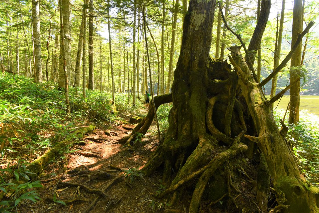 北八ヶ岳の苔むす森