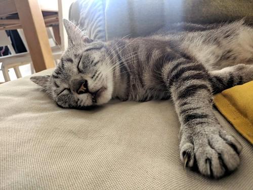 Tango, gato Siamés Tabby de colita corta esterilizado muy guapo, nacido en Enero´16, en adopción. Valencia. ADOPTADO. 43773549955_6f5aa14d61