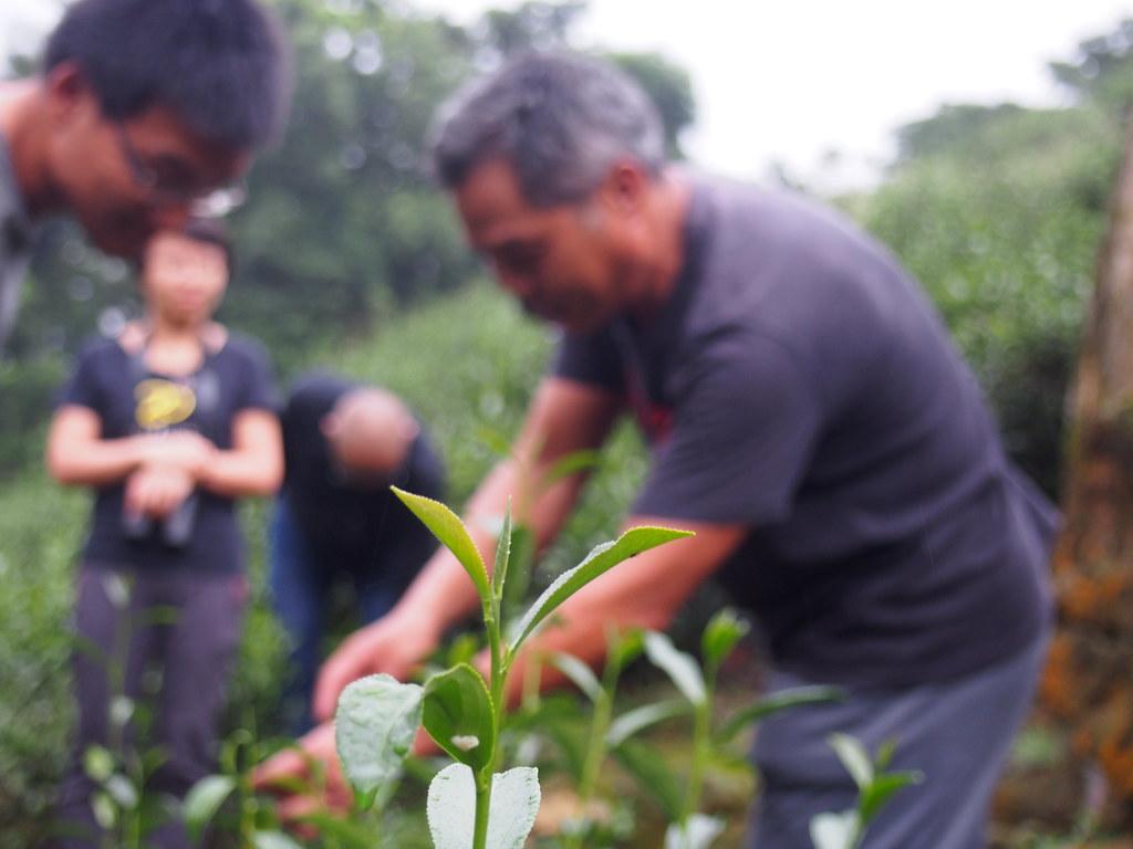 綠色人物一行人在藍鵲茶茶園參訪。攝影:陳宣竹