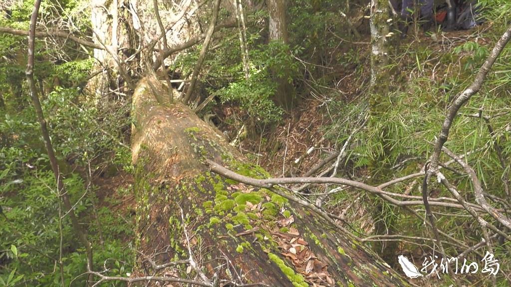 972-1-09千年扁柏因為長了樹瘤而被砍倒,靜靜躺在路旁。