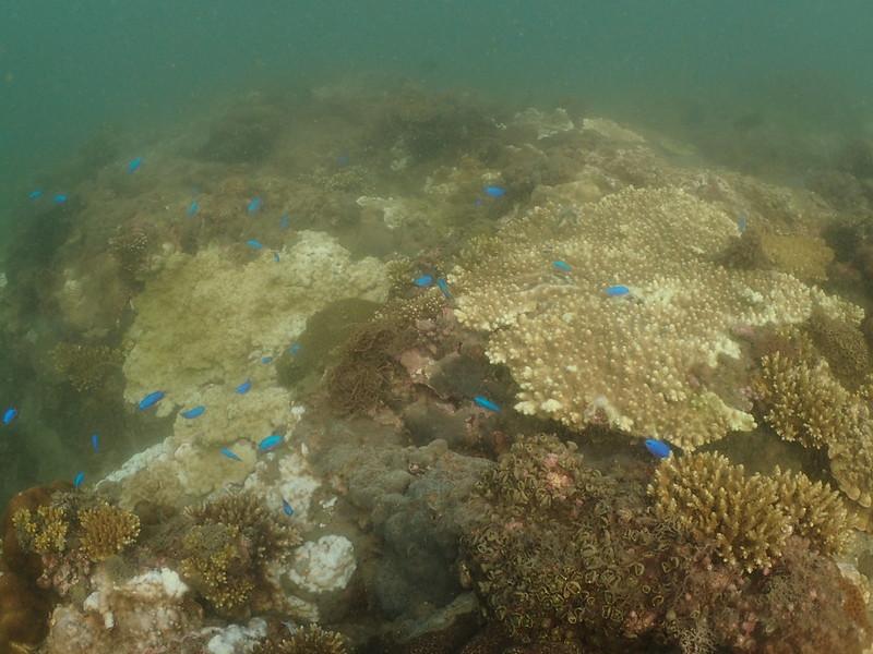 白化大型桌狀軸孔珊瑚