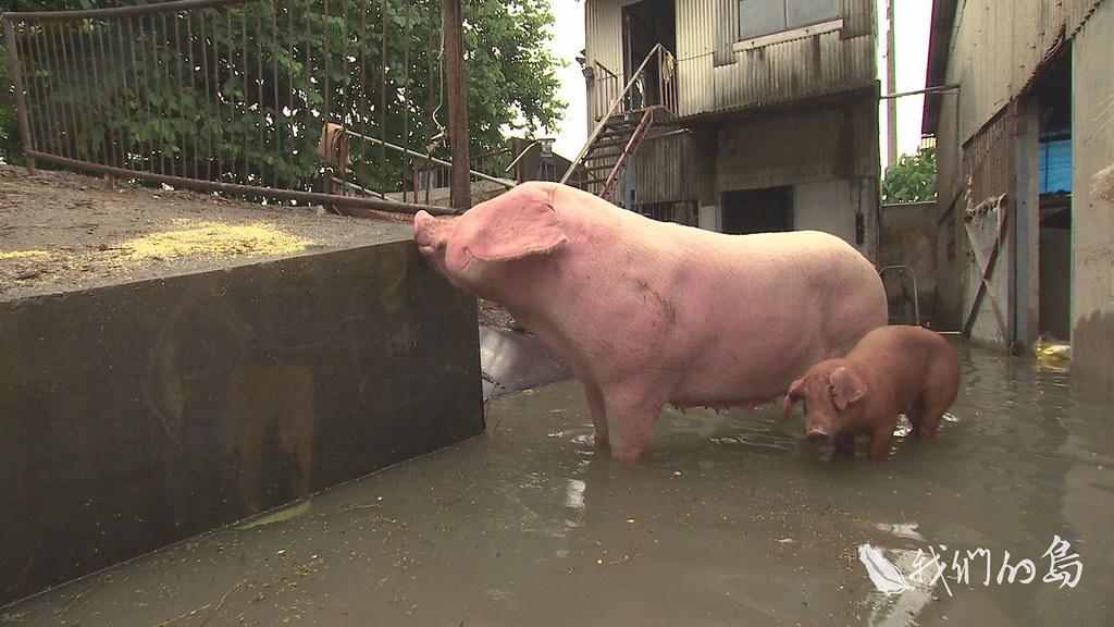 970-2-34s養豬業者經營四十年,在莫拉克風災過後,大排的堤防、牧場的防水牆都加高,沒想到十年後,卻遇上更嚴重的災情。