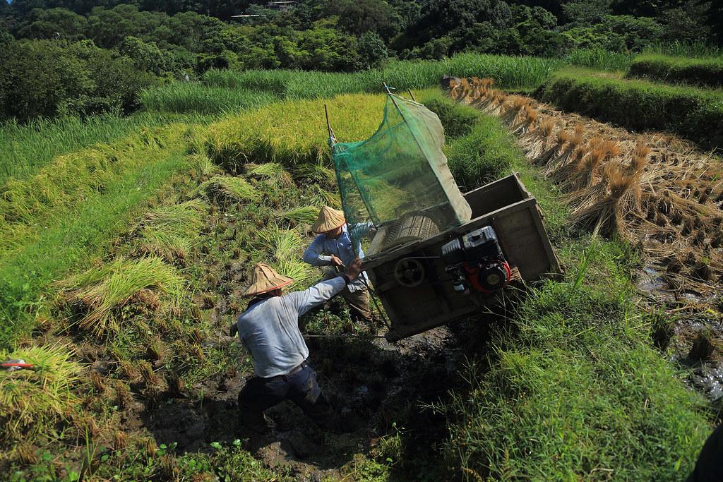 三芝三板橋傳統收割時,農民奮力將打穀機推上田埂的情景
