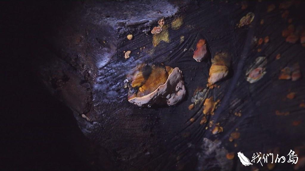 972-1-19香杉菇長在活的大樹樹洞,用手電筒去照會發亮,盜伐者可能為了方便採集而把整棵樹伐倒。