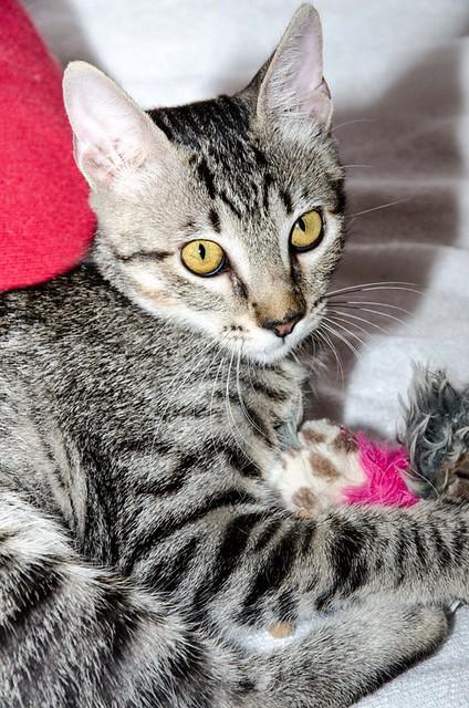 Bonnie, gatita parda monísima y muy lista esterilizada, nacida en Marzo´18, en adopción. Valencia. 30247293868_9a92da30ab_z