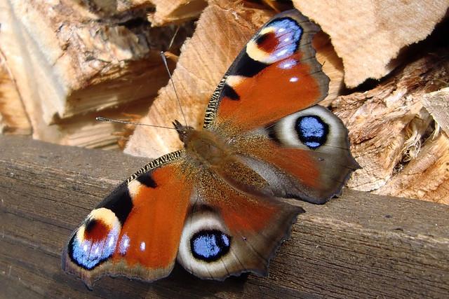 Entdeckung im Spätsommer 2018: Schmetterling ... Foto: Brigitte Stolle