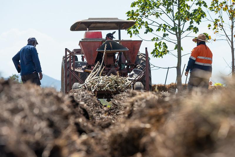 planting sugarcane
