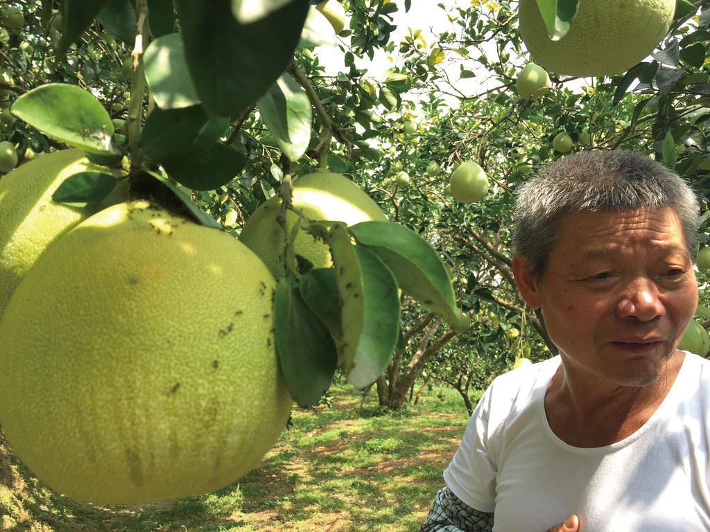 201809-178-綠主張月刊-p08梯田上的蜜香—溫昌海的金黃柚子-05